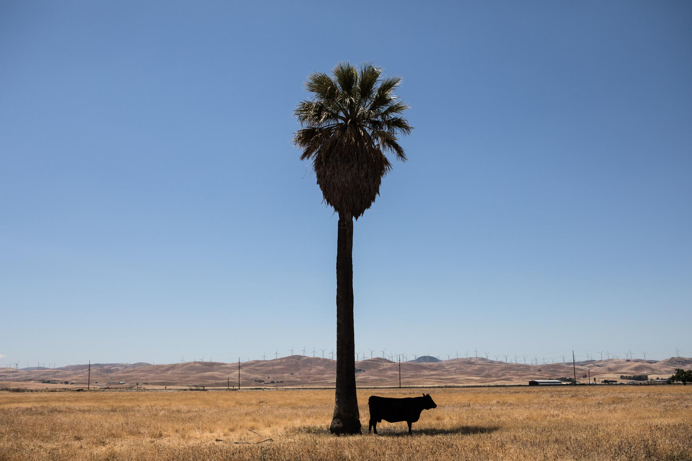 12. One palm tree and one cow. May 2018