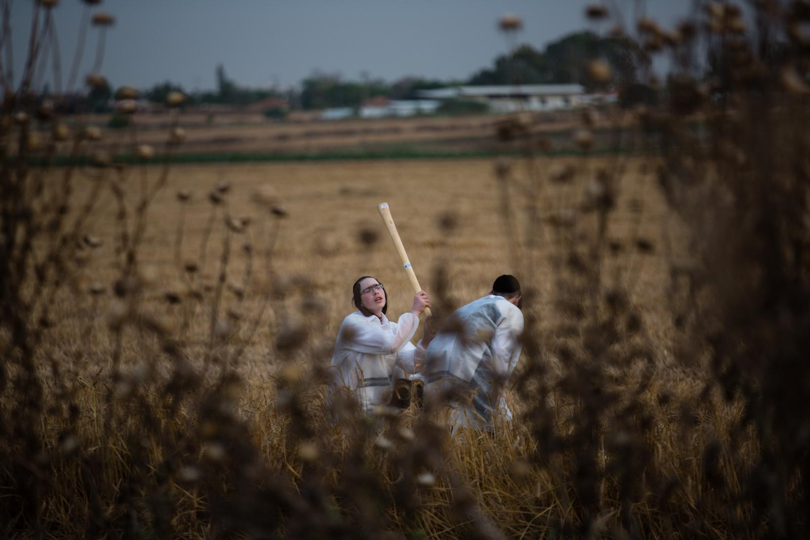 KOMEMIYUT, ISRAEL - MAY 03, 2016:Ultra-Orthodox Jews use sticks to separate the grains of the harvested wheat, in the Ultra-orthodox moshav of Komemiyut May 3, 2016. The harvested wheat will later be used to make the traditional unleavened bread eaten during the Jewish holiday of Passover.