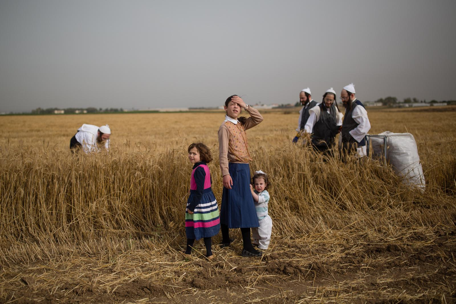 KOMEMIYUT, ISRAEL - MAY 03, 2016: Ultra-Orthodox Jews follow an ancient Biblical command by harvesting wheat at a field in the Ultra-orthodox moshav of Komemiyut, May 3, 2016, They will store the wheat for almost a year and then use it to grind flour to make unleavened bread for the week-long Passover festival.