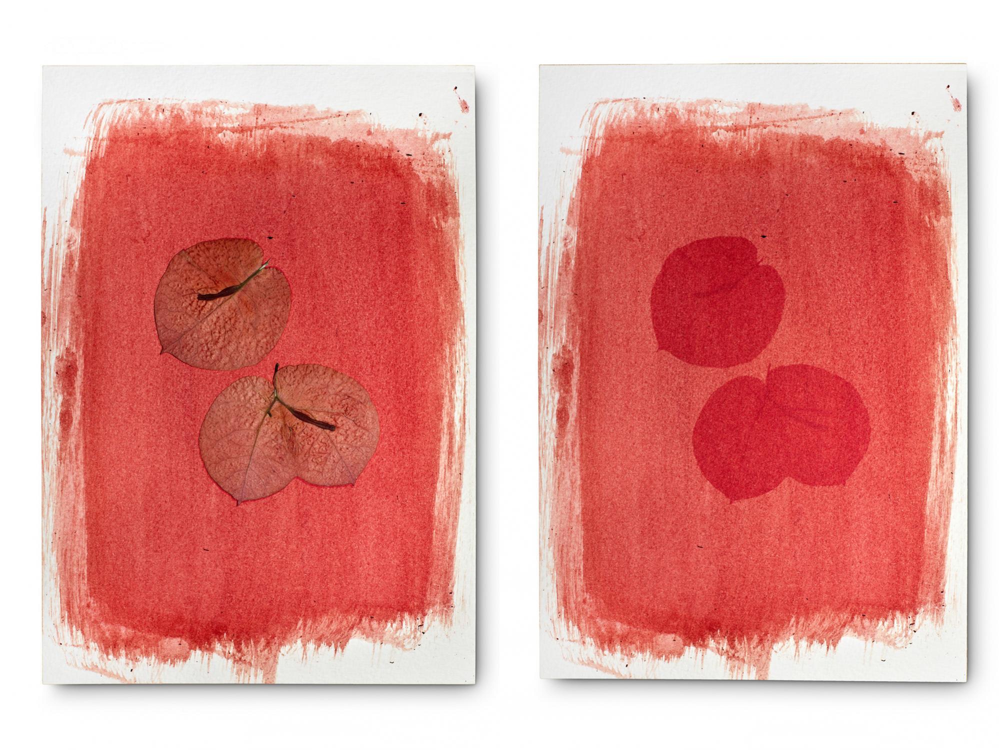 Buganvillas o Santa Rita roja en su propio tinte. 5 días de exposición. Recolectadas y expuestas en el mismo día. Alivia dolencias de la garganta y vías respiratorias.