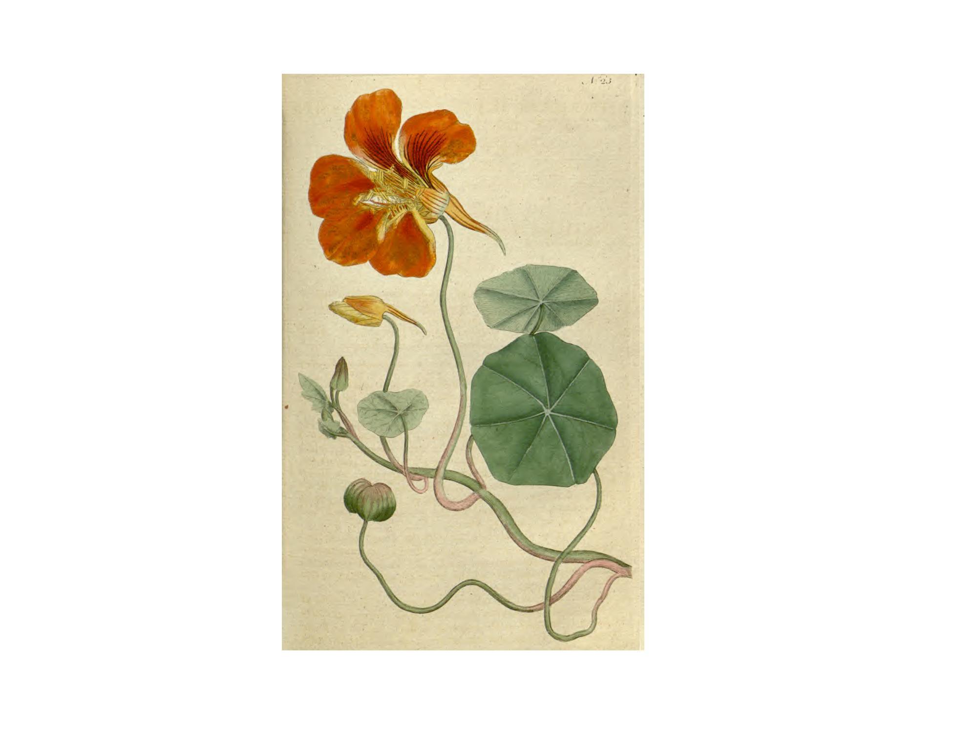 """Tropaeolum majus, capuchina, flor de la sangre. Dibujo extraído de """"The botanical magazine"""", Curtis, aprox. 1790."""