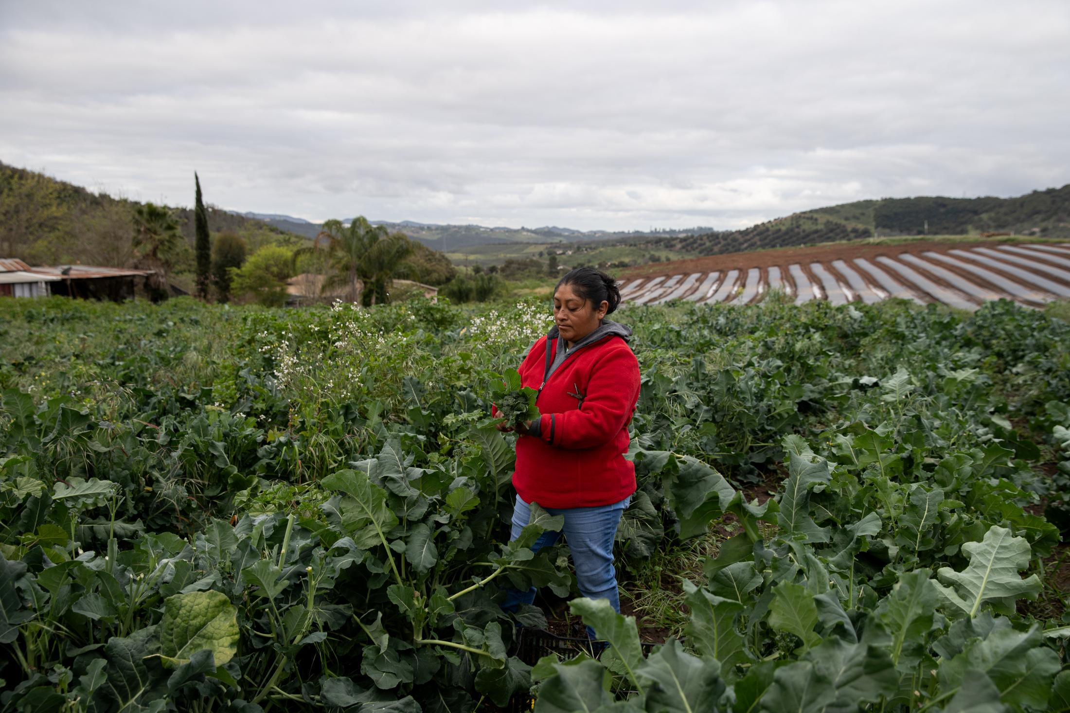 Maria picks broccoli at Stehly Farms Organics located in Valley Center, California on March 25, 2020. Maria who is from Oaxaca, Mexico lives on the property and has been working at the farm for seven years. She says since the Coronavirus outbreak in the United States the demand for fruit and vegetables has been high but it has not effected her work.