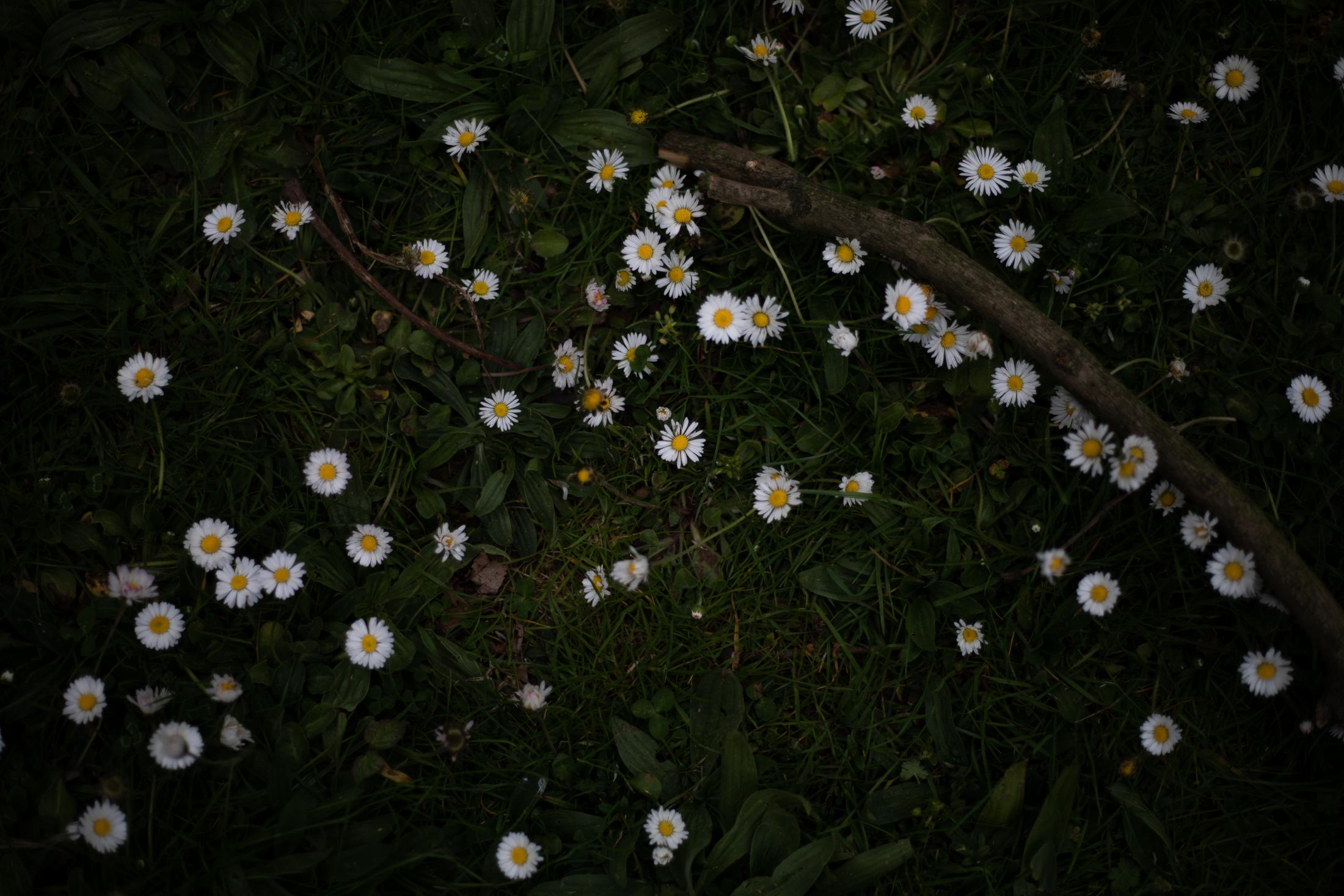 Daisies and branch