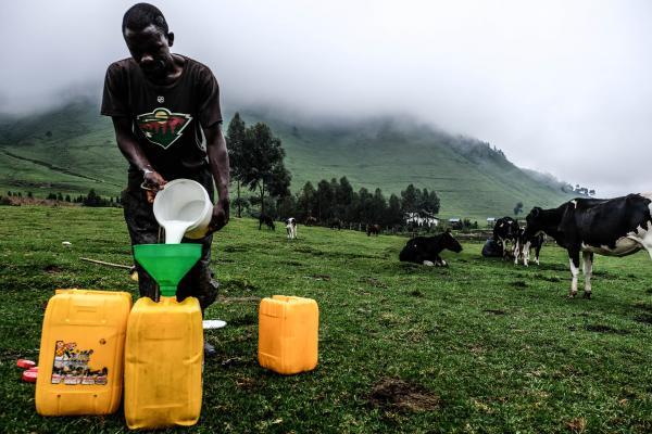 Malgré les rebelles, ils fabriquent le « Gouda » du Congo