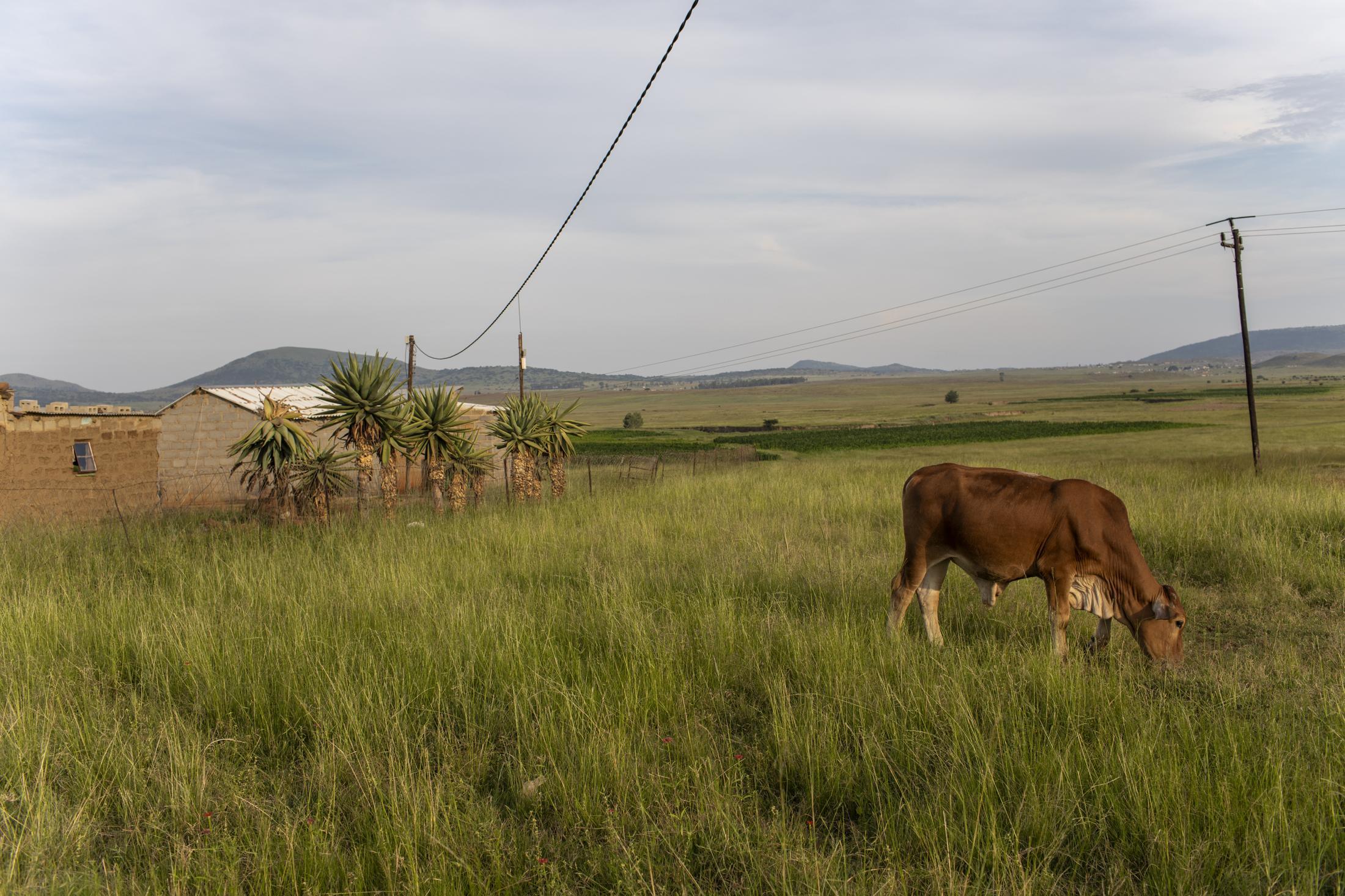 17 February 2020: Cattle roam the veld in Watersmeet, Ladysmith, Kwa-Zulu Natal.