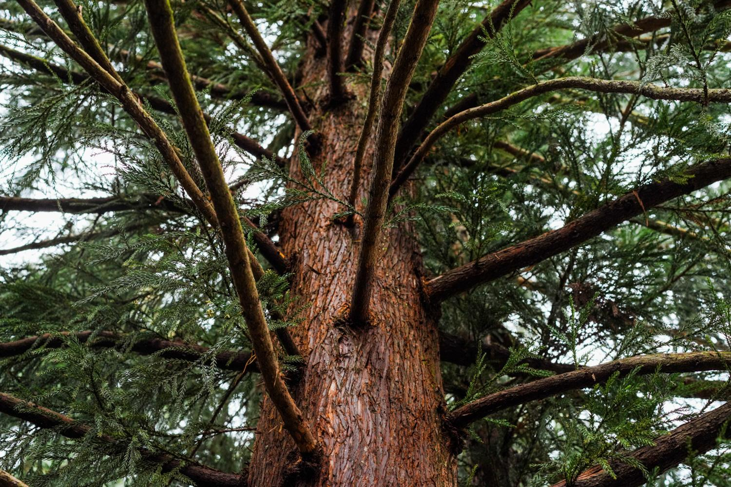A native coniferous tree that grows on the campus of Sweet Briar College in Central Virginia, 2020.