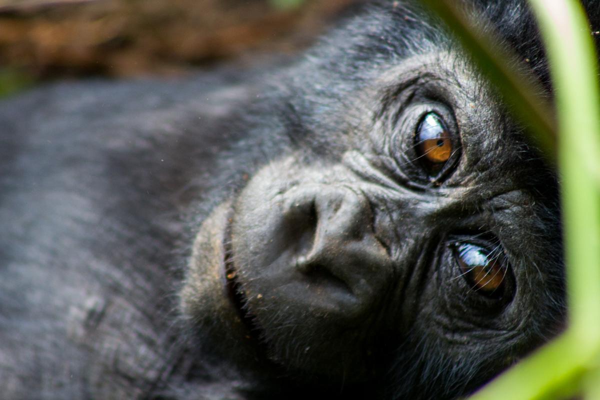 Photography image - Loading 170702_074031_1_Baby_Gorilla.jpg