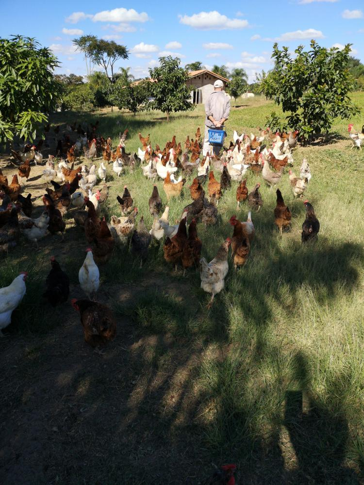 Chickens feeding time, they come running every time to follow us until lunch is served