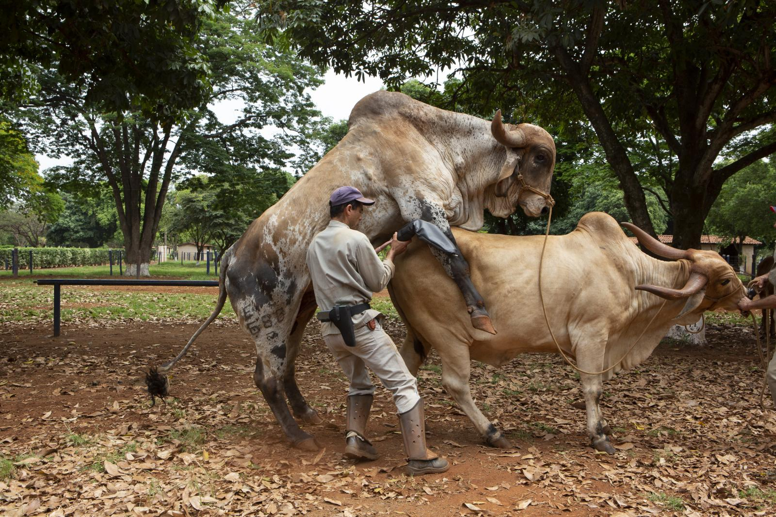A laboratory collector collecting semen at ABS PecPlan, a leading international laboratory of bovine genetics. The genetic materials are an important part of the meat industry, not only for the value on breeding and race development but also for being itself a product and moving a commerce whose sales are important source of income for farmers. Uberaba, Brazil, 2015
