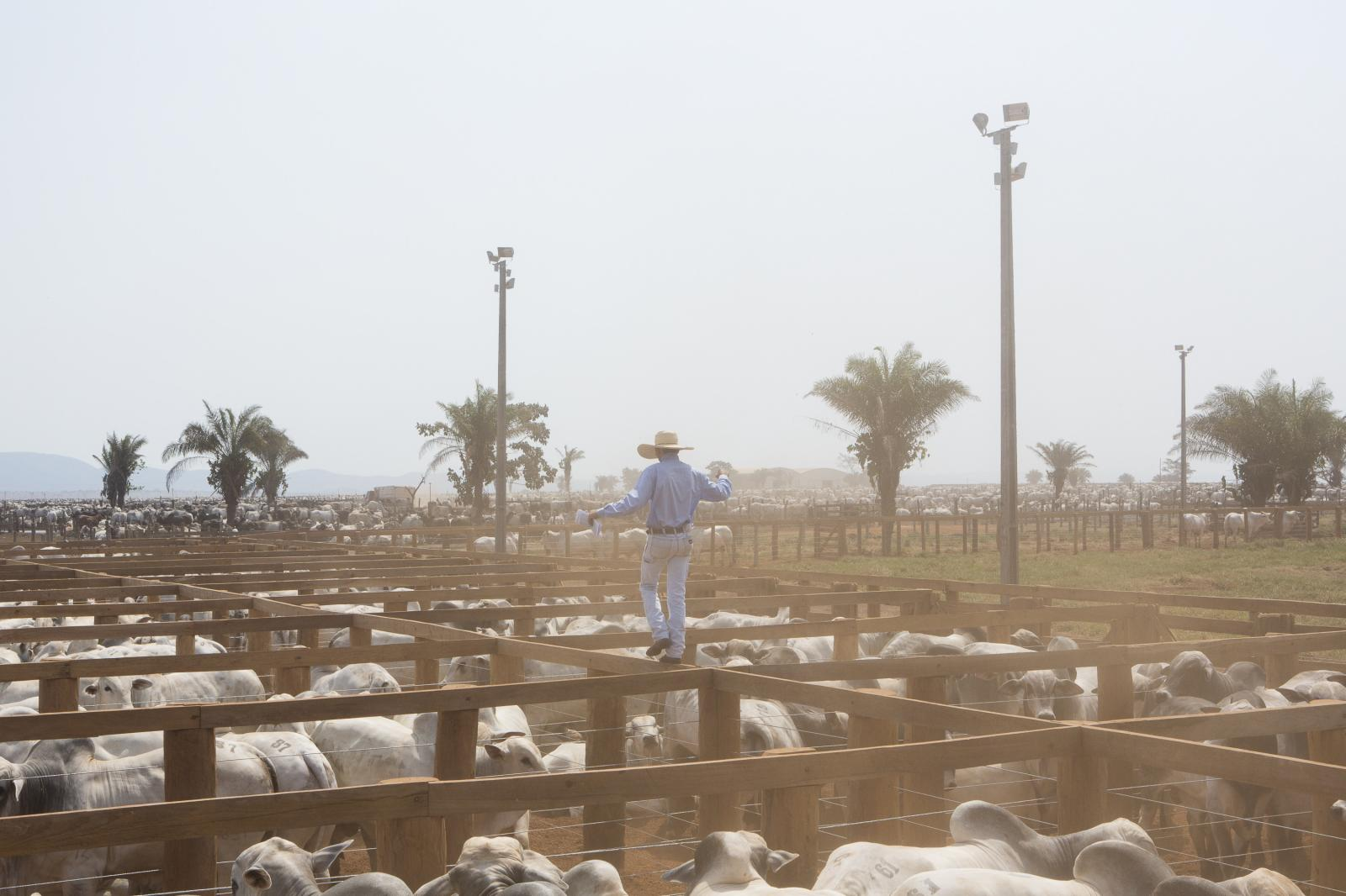 A cowboy balances between the corral fences. Belonging to the family group Rofrigues da Cunha, this farm has about 30 thousand animals. Brazil has a herd of 210 million head of cattle, which means one animal per person. In 2019, with the arrival of China among the Brazilian beef consuming countries, there was a lack of sufficient herd for slaughter. The perspective among farmers is to double their production in the coming years.