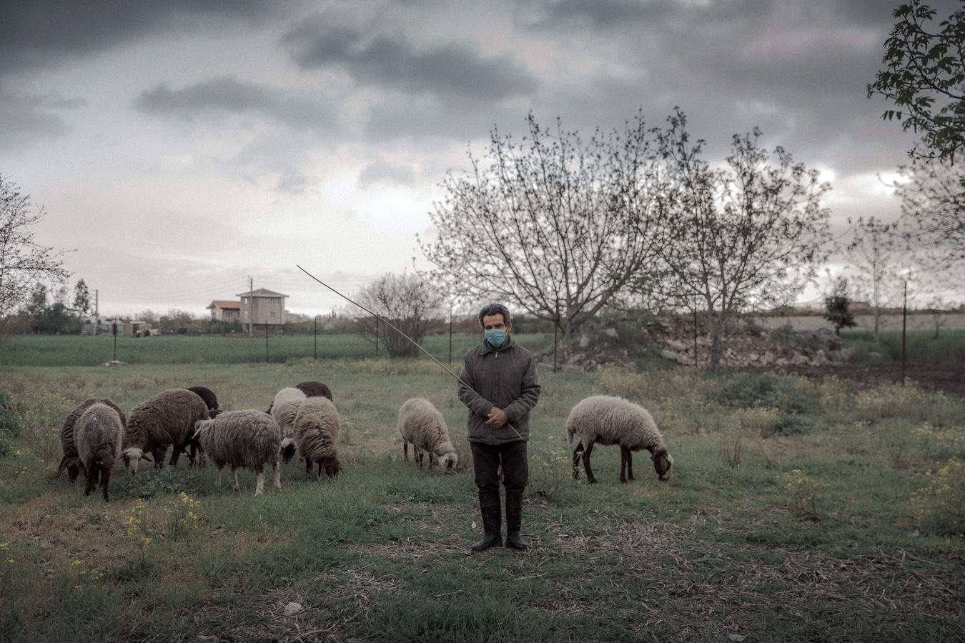 Iran-Mazandaran: The flock of sheep is grazing. The shepherd said he uses clean and deserted routs for transporting the sheep. On the first days of quarantine they were enclosed at the home and I have to find the grass for them. After a while, I took them out to deserted places. I wear a mask and I am aware not to get close to them. I don't know whether a sheep could get infected by Coronavirus. I am afraid if I transmit the virus and put the sheep in danger. Do you know anything about it?