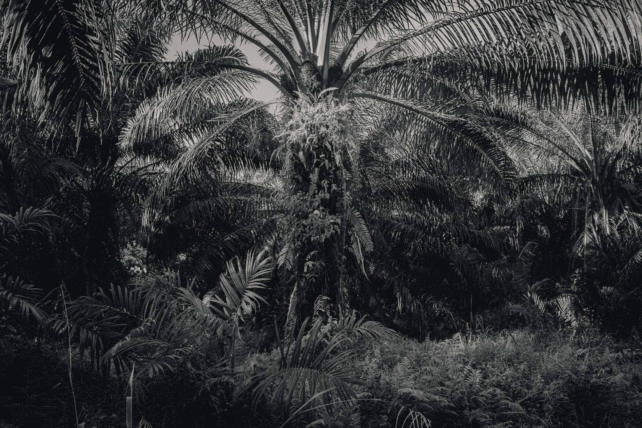 An Oil Palm Plantation in Borneo, Malaysia. Sarawak is the largest of thirteen states that make up Malaysia and is situated on the island of Borneo, which is shared between Malaysia, Indonesia and Brunei and contains some of the oldest tropical rainforest in the world. Agriculture, logging, mining and oil and gas extraction dominate Borneo's economy. Plans for multiple hydro-electric projects in Sarawak have drawn controversy, as have the much greater publicised issues of palm oil production and logging, both drivers of deforestation. Malaysia is the second largest producer of Palm oil after Indonesia. According to the Malaysian Palm Oil Board, as of December 2012, palm oil plantation accounted for a total land use of 51,000 km2 in Malaysia. It makes up 77% of agricultural land or about 15% of total land area in Malaysia. Criticism of the Palm oil industry has focused on deforestation, monoculture farming practices and labour exploitation. Logging, along with Palm oil plantations, are a highly visible cause of environmental damage. Crude logging techniques, illegal cutting, construction of logging roads and timber camps all contribute to a depreciation of ecosystems and destruction of habitat upon which local indigenous people and wildlife depend. The proposed Baram dam project was cancelled in mid 2015 by Chief Minister Tan Sri Adenan Satem. With the death of Adenan Satem in early 2017, Sarawak's indigenous community hopes the new Chief Minister Datuk Amar Abang Johari Openg will not re-instate the dam's construction. About 20,000 people in 30 villages would lose their homes or lands to the flooding, if the dam was to be built. Save Rivers, a conservation group opposed to the dam has proposed smaller-scale hydroelectric and solar projects as an alternative to large scale mega dam projects.