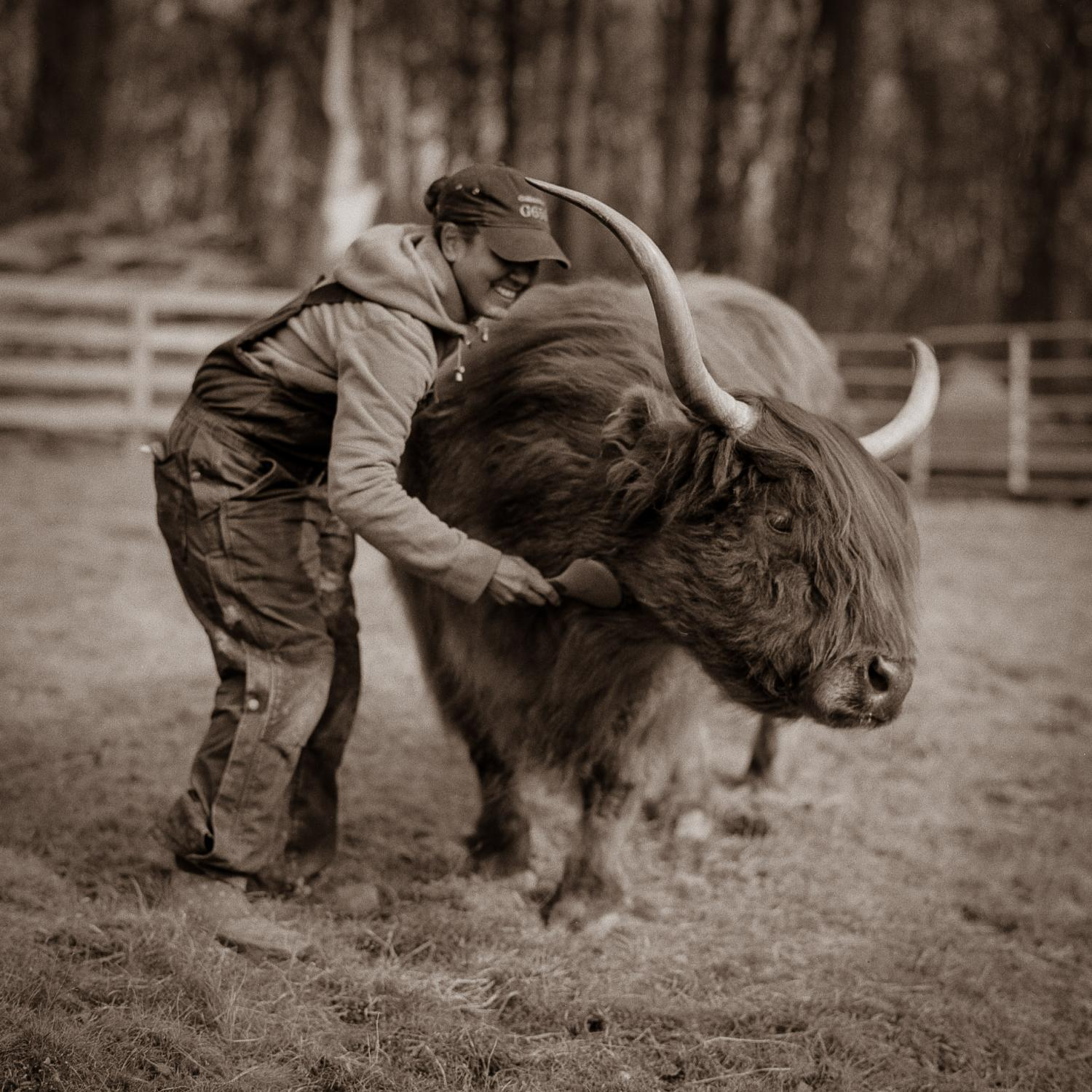 Britt Janssen grooming Tallulah, a rescued Highland cow, at JP Farm Animal Sanctuary in Connecticut