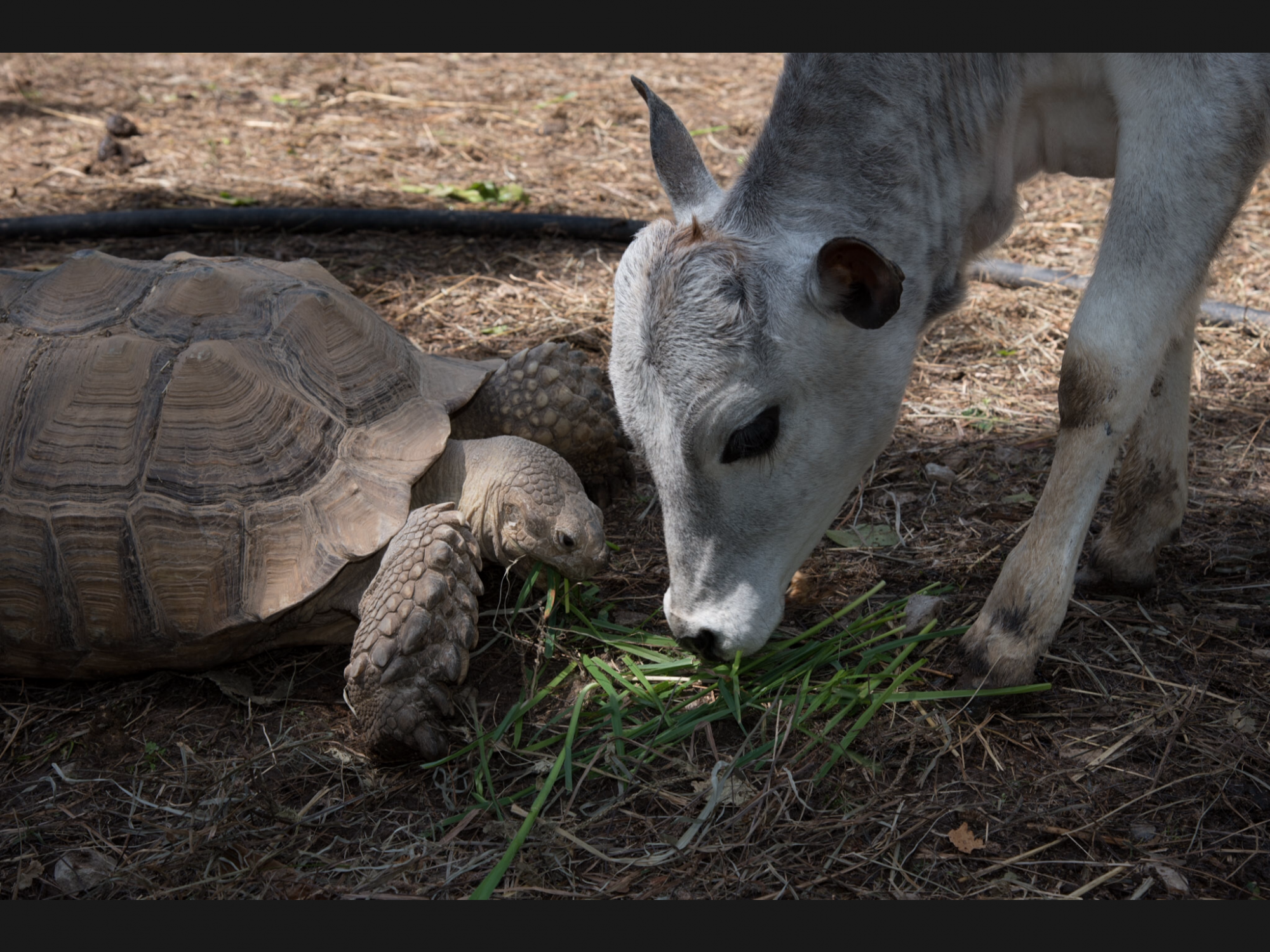 Crouton the Tortoise and Cow Friend at Rocky Ridge