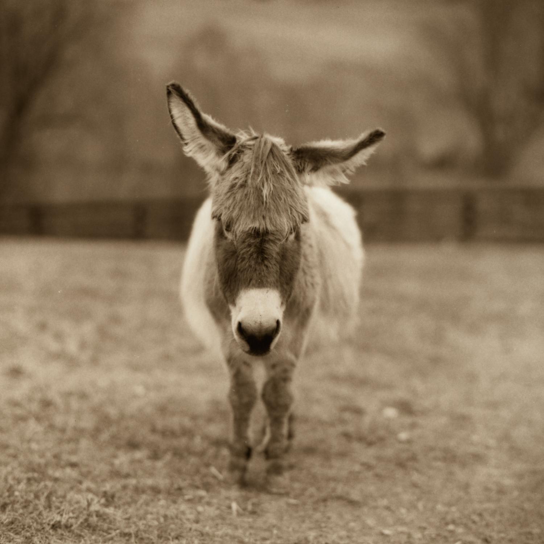 Bella at Little Longears Minature Donkey Rescue, Maryland