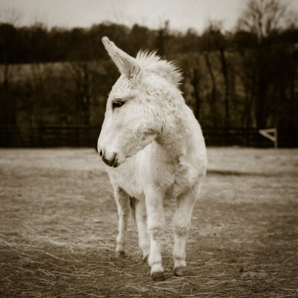 Theo at Little Longears Miniature Donkey Rescue, Maryland