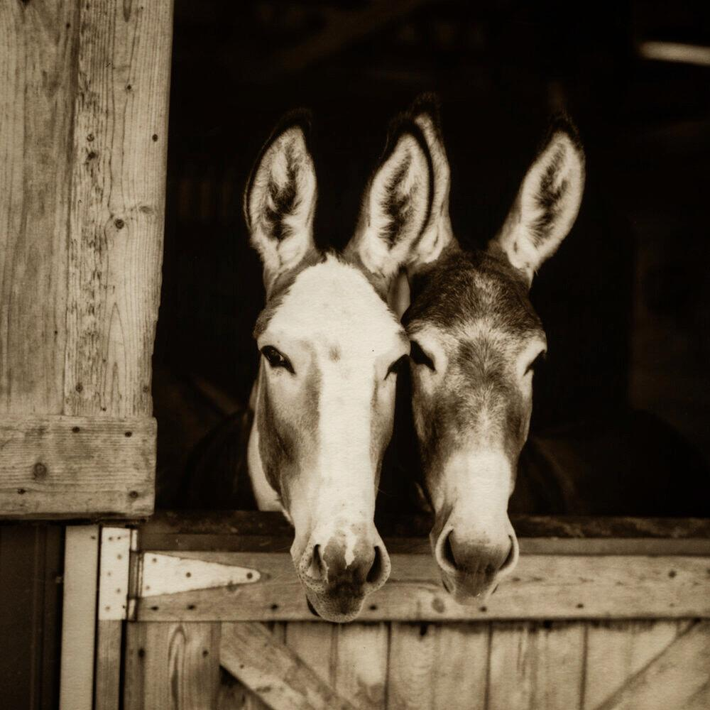 Bonnie and Clyde at Little Longears Miniature Donkey Rescue, Maryland