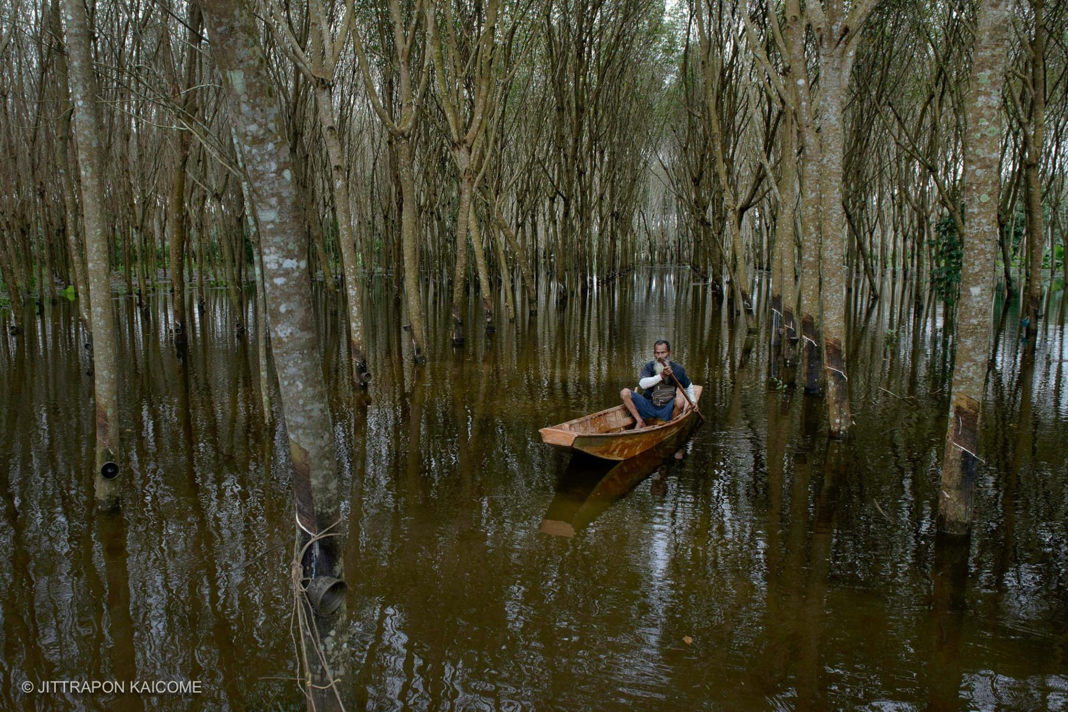 Unseasonably heavy rainfall in Southern Thailand causing widespread flooding, a farmer paddles his way through rubber tree plantations, the economic plant which is the main income to farmers in Southern Thailand. January 17, 2017-Phunphin, Surat Thani, Thailand.