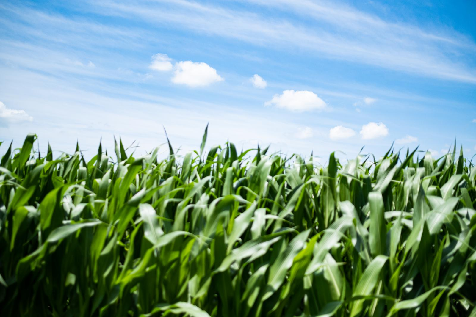 """Field corn, taken on July 5th. As the saying goes """"knee high by fourth of July,"""" this year we are far above knee high."""