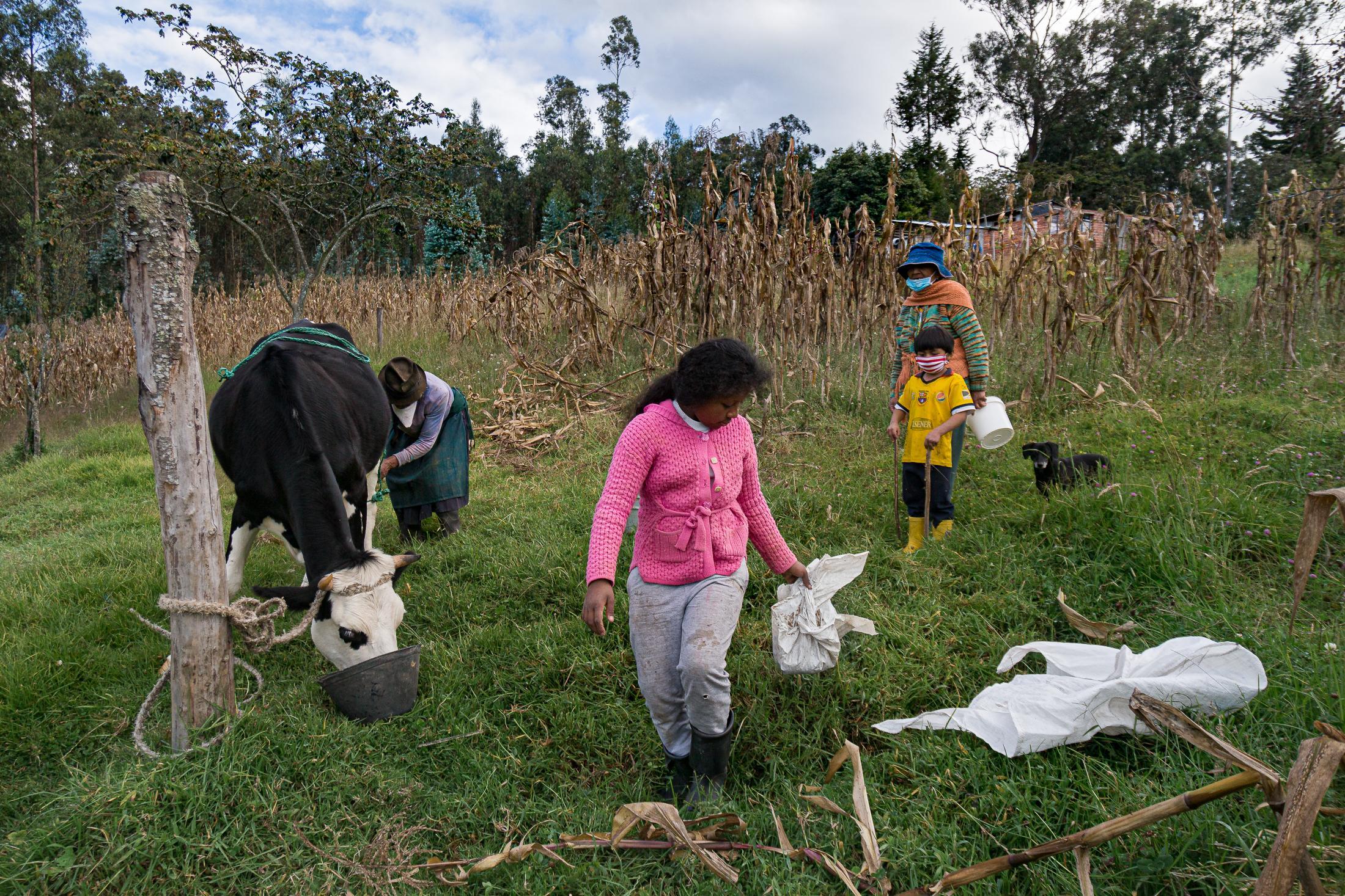 Lucía Cabeza (11) trae consigo el alimento para su vaca Maruja mientras su abuela la ordeña. Todas las tardes, desde que empezó la cuarentena, la acompaña a arrear a las vacas y darle de beber. Ahora las mañana se dedica a ahcer sus tareas y en las tardes a ciertas tareas del campo. 20 de junio de 2020. Cotogchoa-Ecuador. Andrés Yépez.