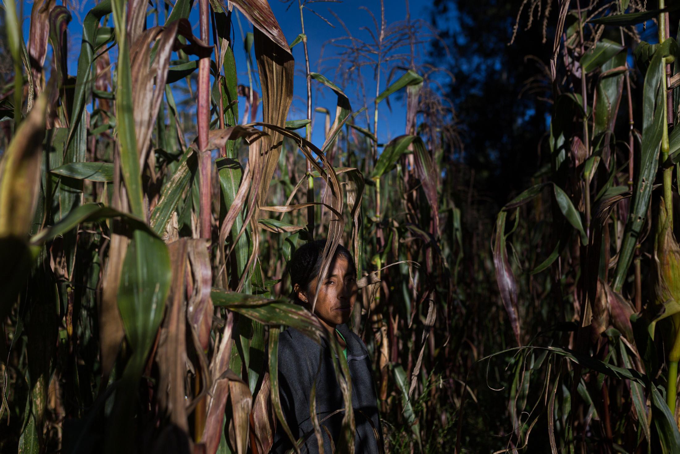 """Silvia Loachamín (42) es madre, cabeza de hogar, que vive junto con su madre Rosario Loachamín y sus hijos Lucía Cabeza (11) y Alexander Venegas (9) en un sector llamado """"El Bosque"""" a aproximadamente cuatro kilómetros de la parte central de la parroquia, donde se encuentra la escuela de sus hijos. Ella trabaja en una hacienda, en el ordeño y limpieza de terrenos, casi todo el día pero también se dedica a la producción de quesos y venta de leche que sus vacas producen. Su jornada empieza muy temprano en un pequeño terreno donde siembra maíz y descansan sus vacas. 22 de mayo de 2020. Cotogchoa-Ecuador. Andrés Yépez."""