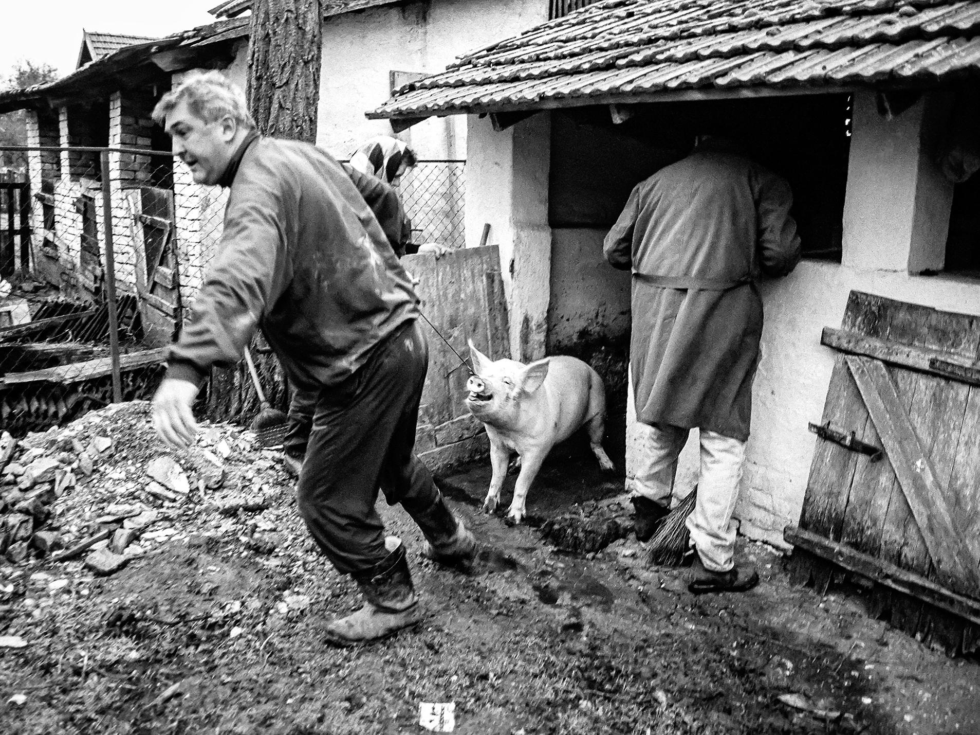 Scene from pig slaughter. Rusko Selo, Serbia 2009