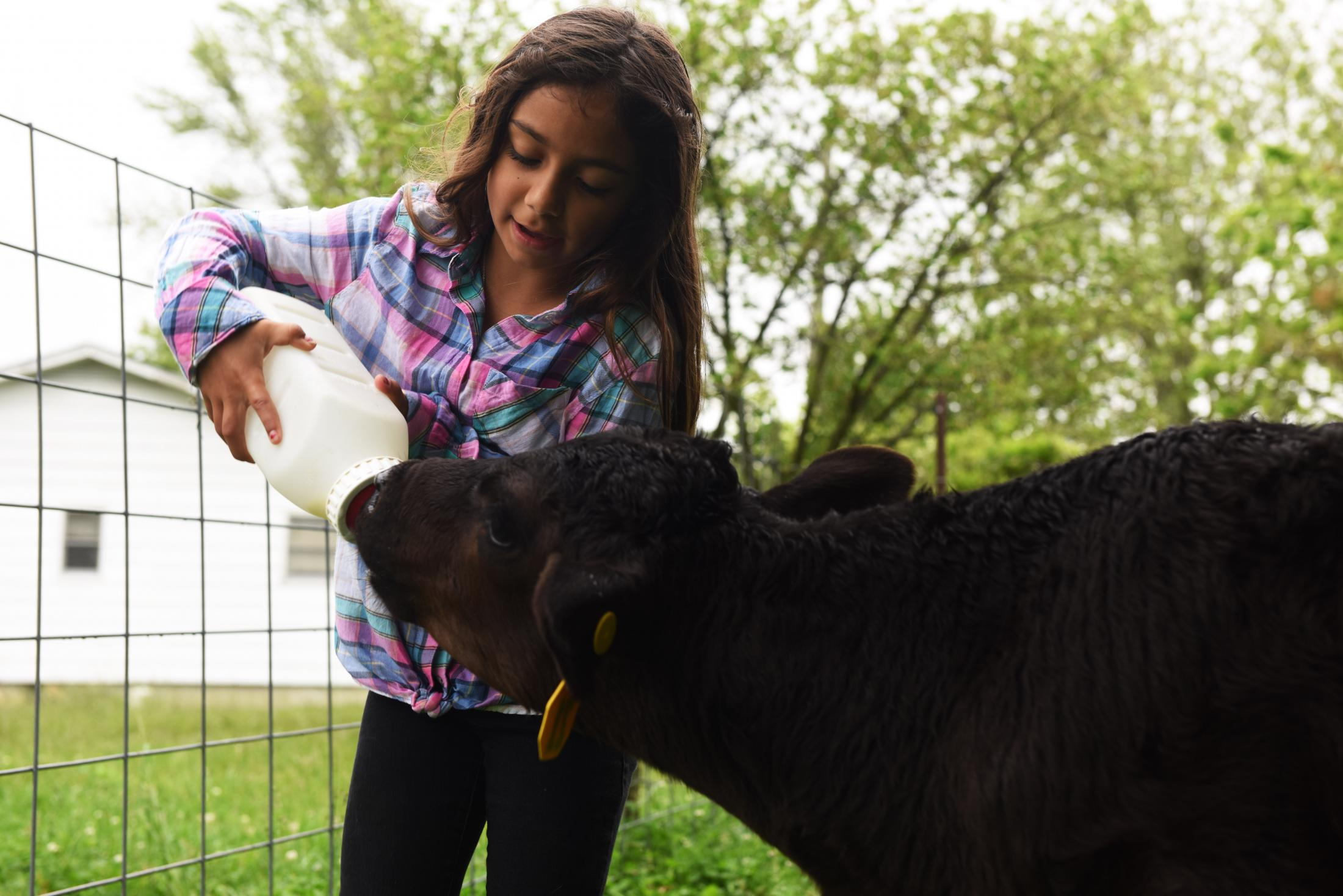 Isabelle Williams, 7, feeds a bottle calf whose mother was not able to raise it on Tuesday, May 19, 2020, on their farm in Clarksburg Missouri. The proposed Tipton East CAFO would cause toxic nitrates to contaminate the water supply for the family and their livestock, Williams said.  Williams said the toxins can make people sick and sterilize livestock which would prevent the sustainability of staying on their farm.