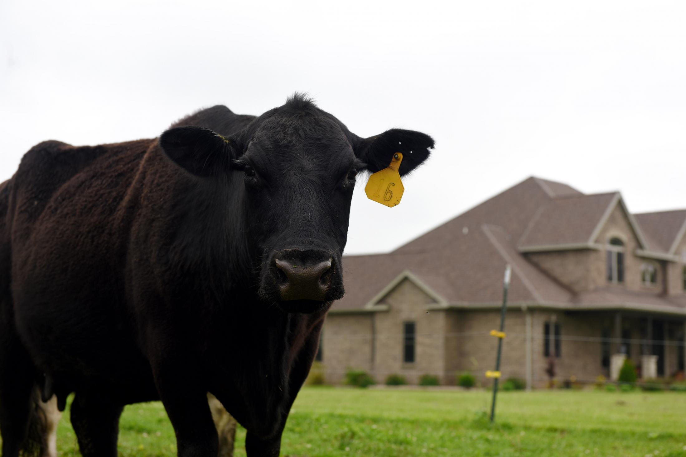 A cow stands in front of the Williams family house on May 19 in Clarksburg. The family built their house about three years ago on the land that has been in their family for the past 70 years. They finished their house 14 months before the Tipton East CAFO announced construction plans.