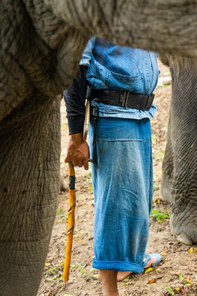 Lampang, Thailand  A Mahout holds his small knife next to his elephant  at the Thai Elephant Conservation Center in Lampang.  A Mahout is a traditional Thai elephant trainer. Usually, a mahout starts as a boy in the family profession when he is assigned an elephant early in its life. They remain bonded to each other throughout their lives.