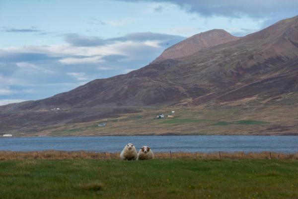 Akureyri, Iceland  Two sheep in a pasture outside of Siglufjörður. Siglufjörður is a small fishing town in a narrow fjord with the same name on the northern coast of Iceland. The population in 2011 was 1,206; the town has been shrinking in size since the 1950s when the town reached its peak of 3,000 inhabitants.