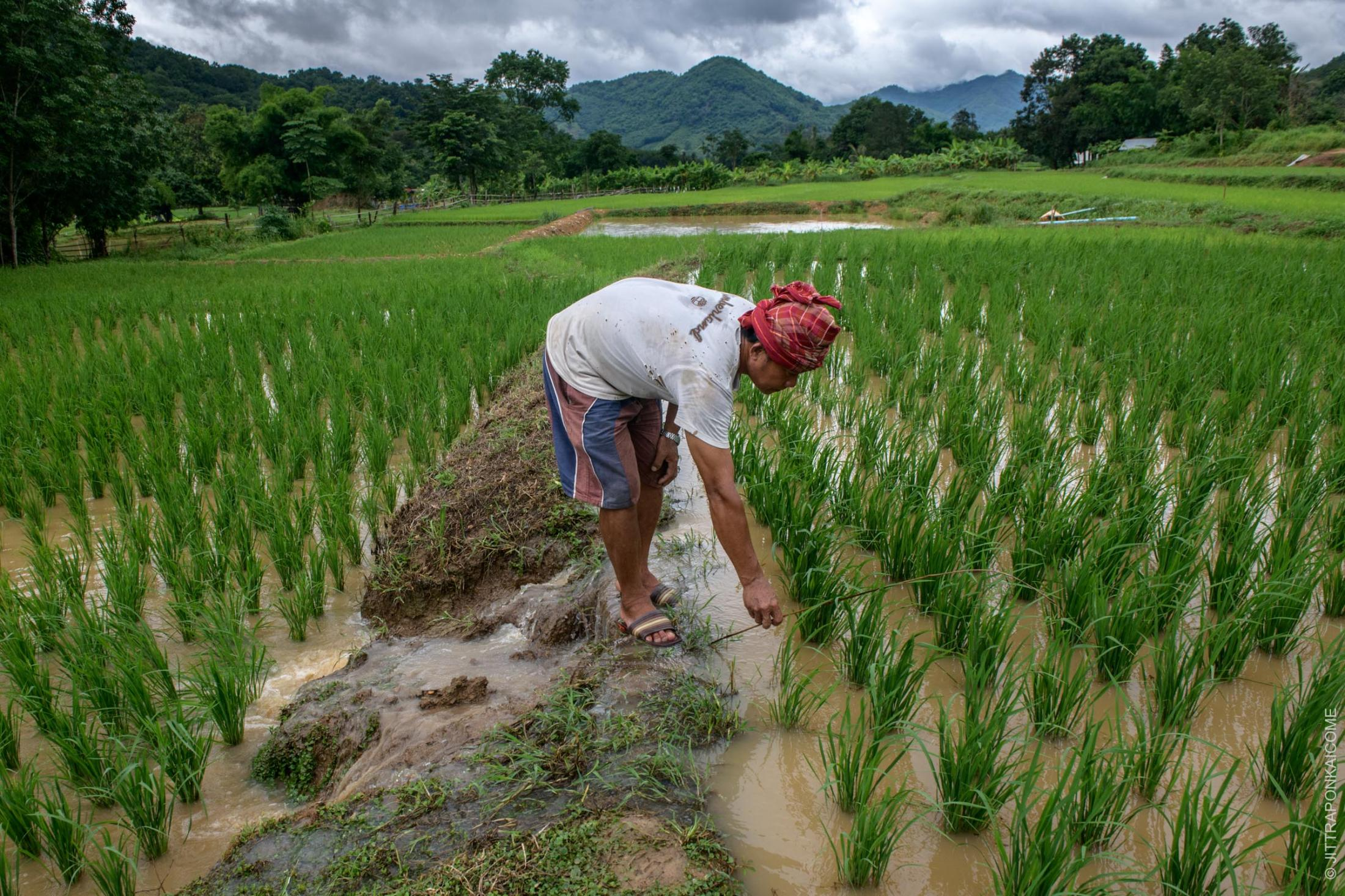 A fisherman is placing a small rod to trap fish in the rice field. Many of the fishers now work as rice farmers to increase their income, after the fishing industry became unprofitable. In Nong Khai, Thailand – August 2020.