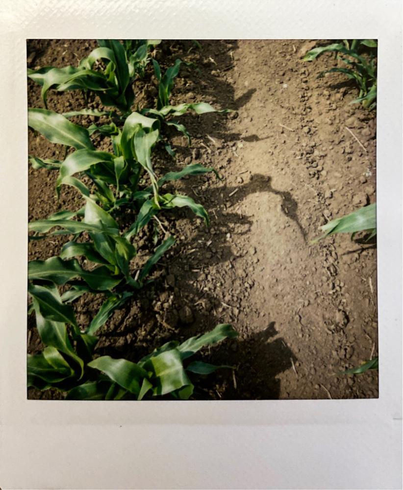 Sweet corn slowly growing.