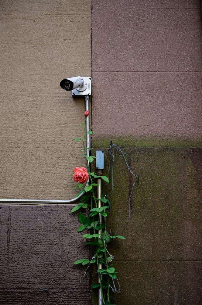 Climbing rose, Brooklyn, NY.