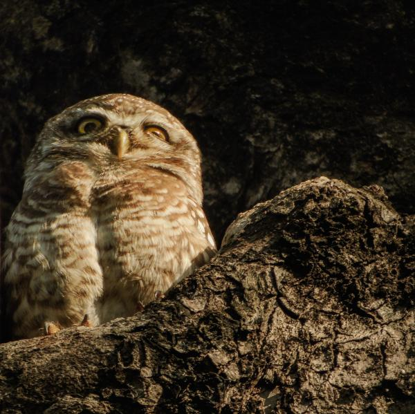 Tryst with the Owlets