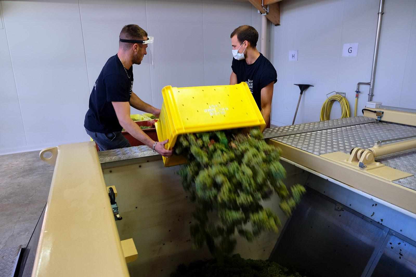 Workers of the Vazart-Coquart & fils Champagne brand pour freshly picked grapes into vats to be pressed in Chouilly.