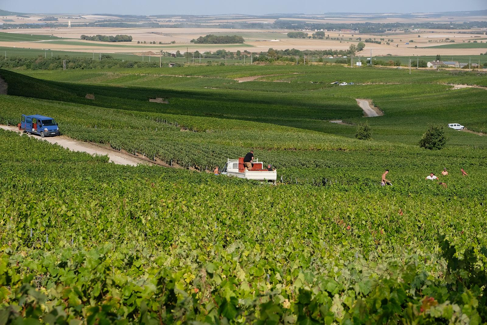 Fields full of grapes are waiting to be picked to make champagne in Rilly la Montagne in France's Champagne region