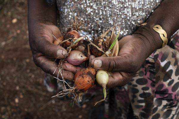 The hands of Vitalina Varela, with onions she collected from her vegetable garden. Vitalina Varela 60 is a Cape Verdian citizen resident in Cova da Moura, Amadora Portugal and the leading actress of a movie with her name directed by Portuguese director Pedro Costa.