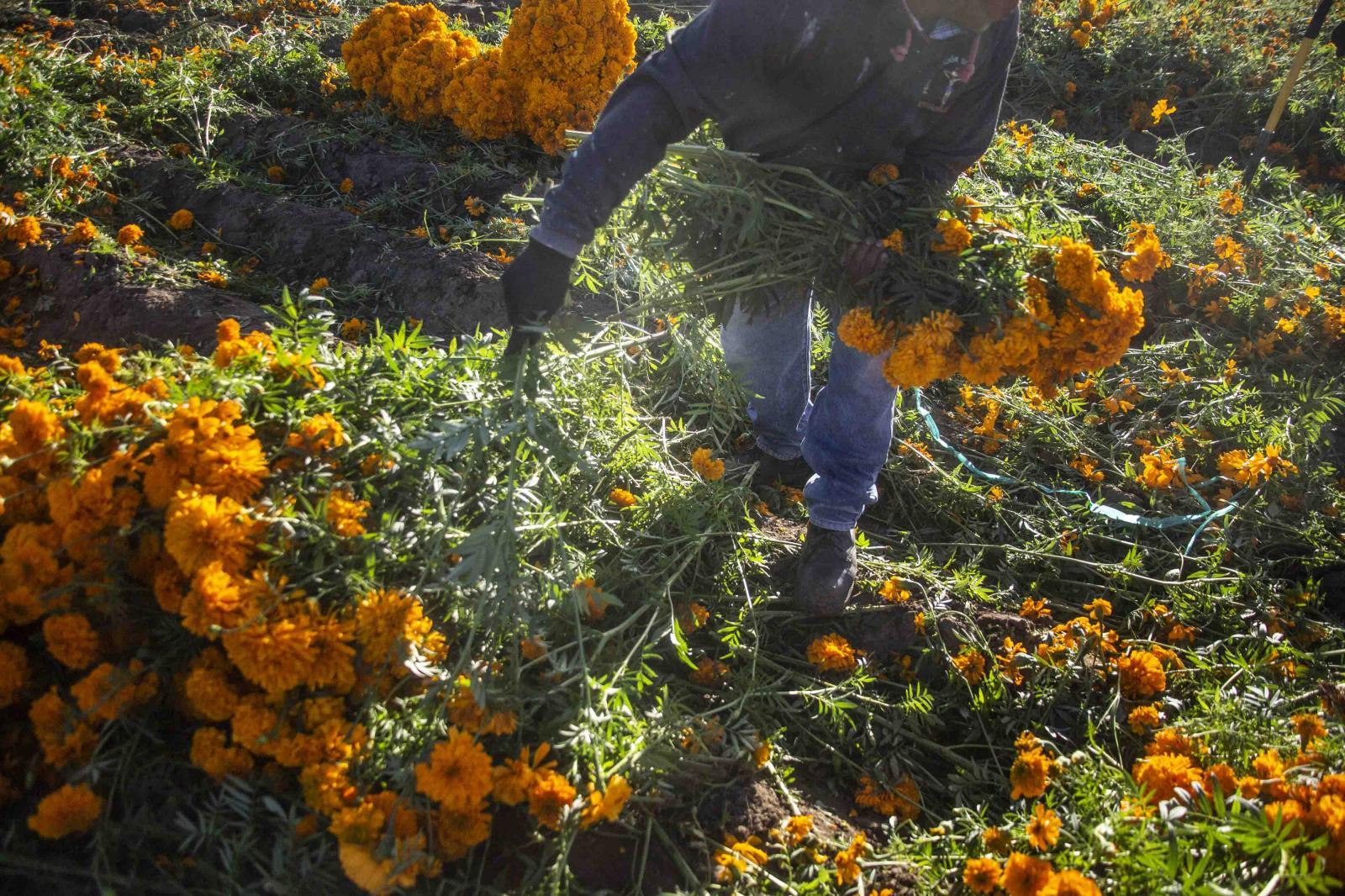 A worker harvests Cempasúchil flowers in the neighborhood of San Pedro Mexicaltzingo, Puebla, Mexico on Sunday, October 25, 2020. In the midst of the Covid pandemic, farm workers have been affected by the low sales of this flower, which is traditionally used in Day of the Dead offerings in Mexico. Photographer Koral Carballo /Bloomberg