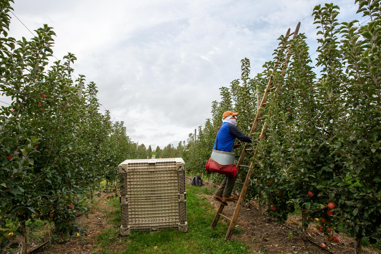 The Wall Street Journal  Could Two Newcomers replace Honeycrisp As Apple Sensations?