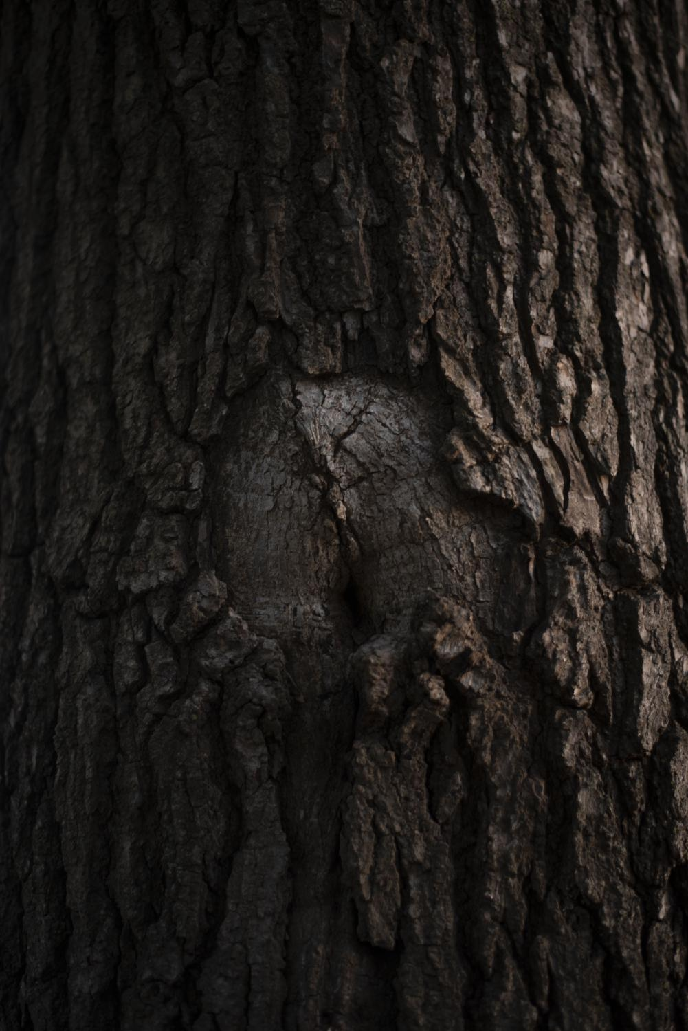 Bark grows around a gash in a tree trunk Oct. 12 on the University of Missouri campus in Columbia, Mo.
