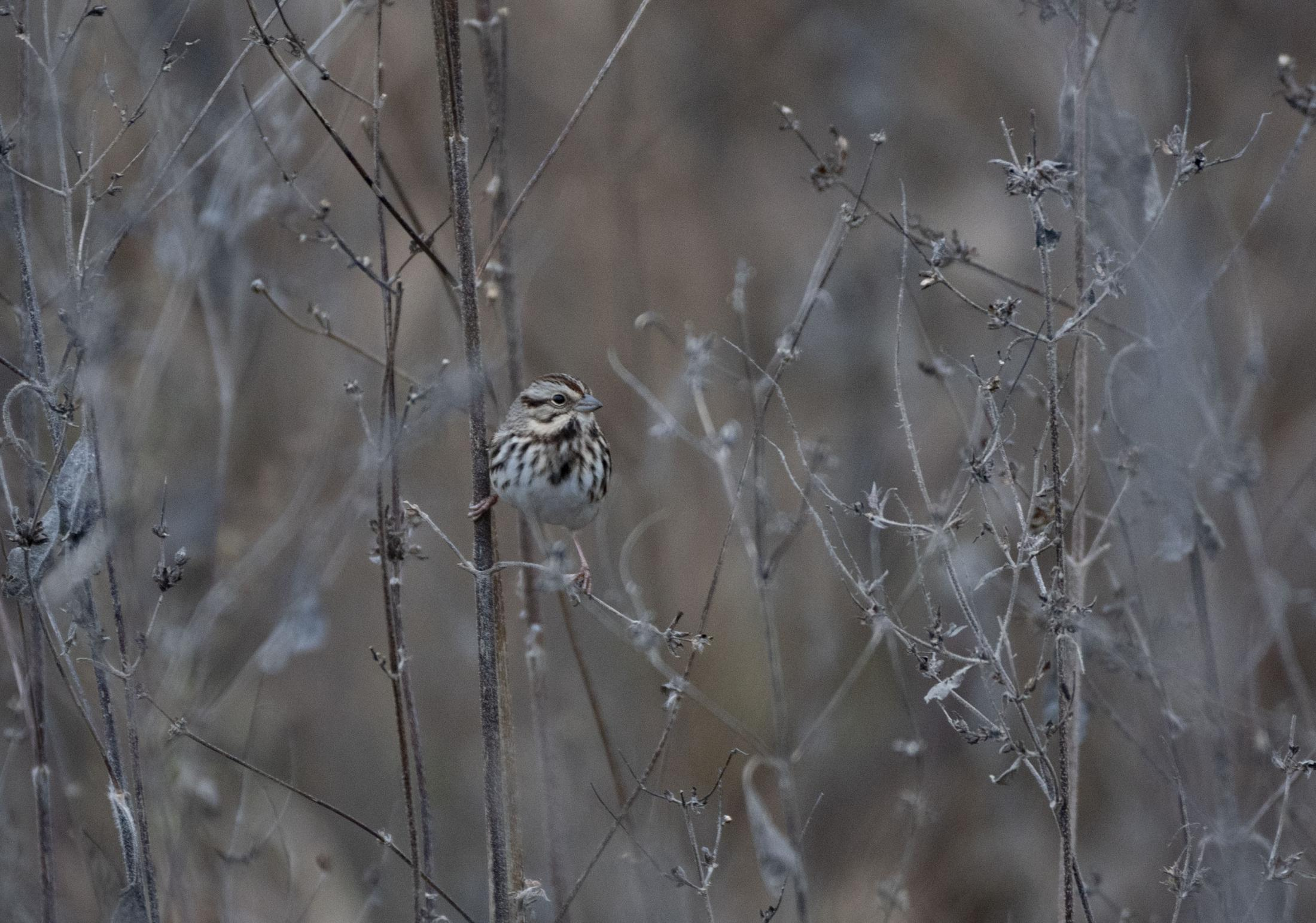 A Song Sparrow sits on a dead plant Oct. 25, 2020 at Eagle Bluffs Conservation Area in Columbia. Song Sparrows appear in Missouri in the winter and return to a similar area each year.