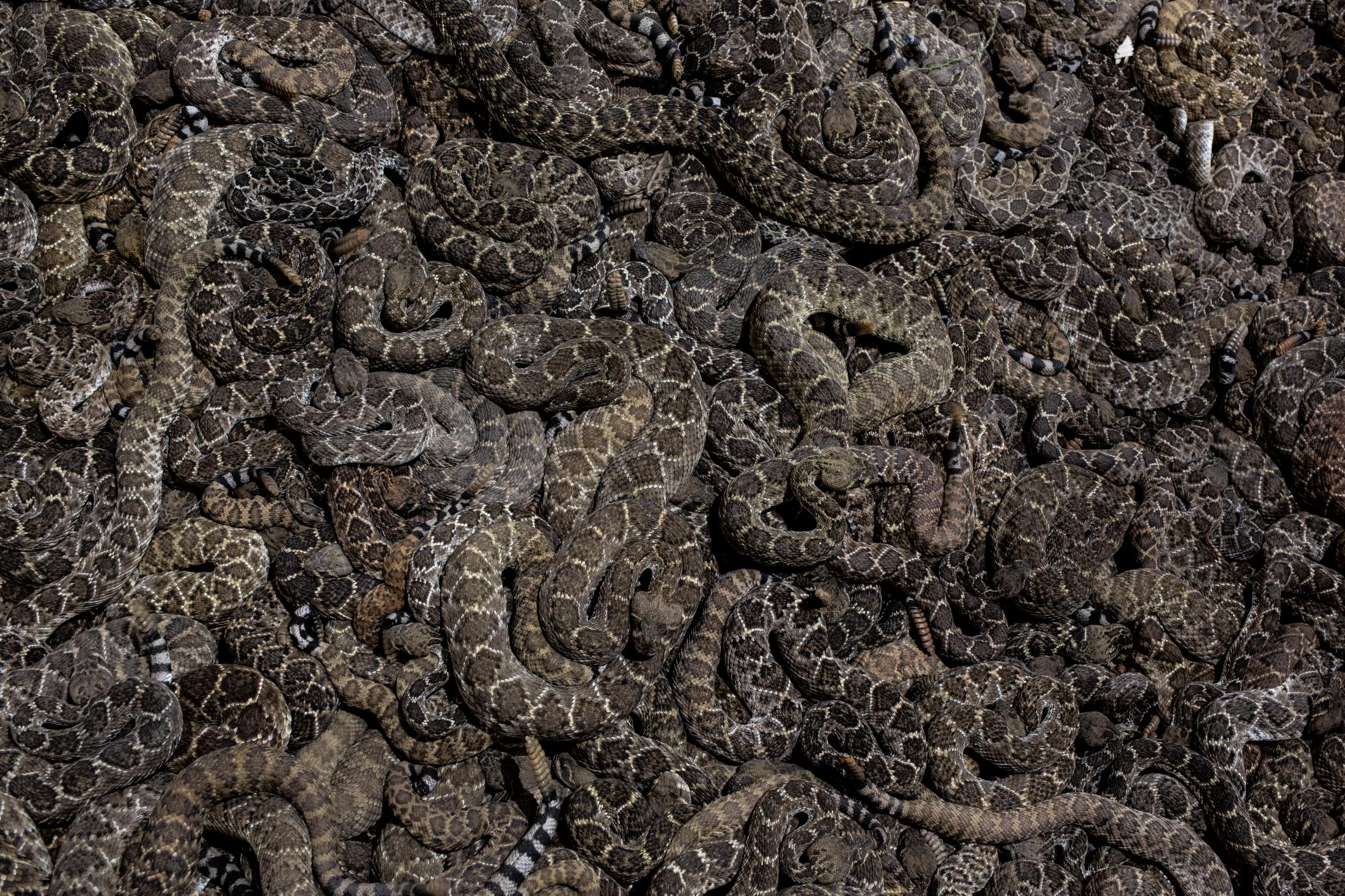 Thousands of Rattlesnakes are brought to the Sweetwater, Rattlesnake Roundup in Texas every year to help control the growing populations.