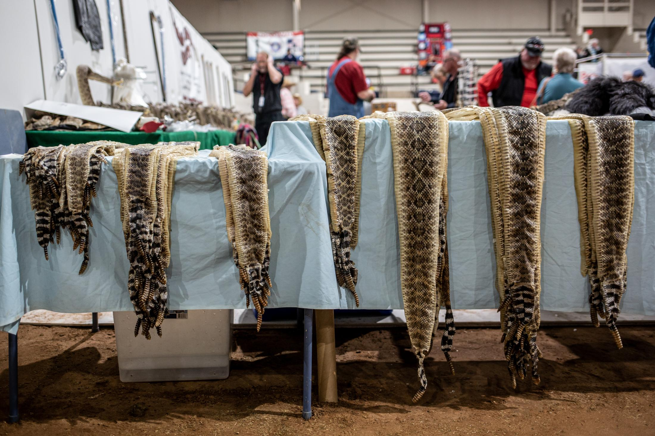 Rattlesnake skins hang down from a display table priced for sale to visitors of the Sweetwater Rattlesnake Roundup.