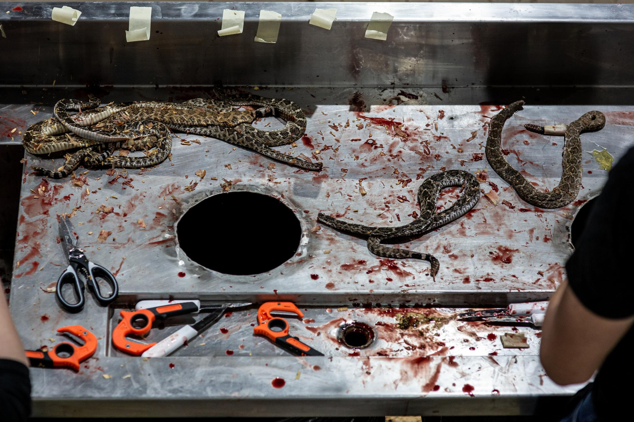 Headless rattlesnakes lay on a table as Jaycee members skin the snakes in front of event visitors in the Nolan County Coliseum.
