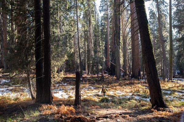 - Sequoias