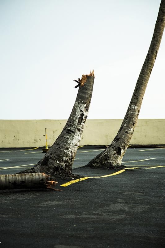 The day after Maria. A palm trunk is snapped in two in Condado, San Juan.