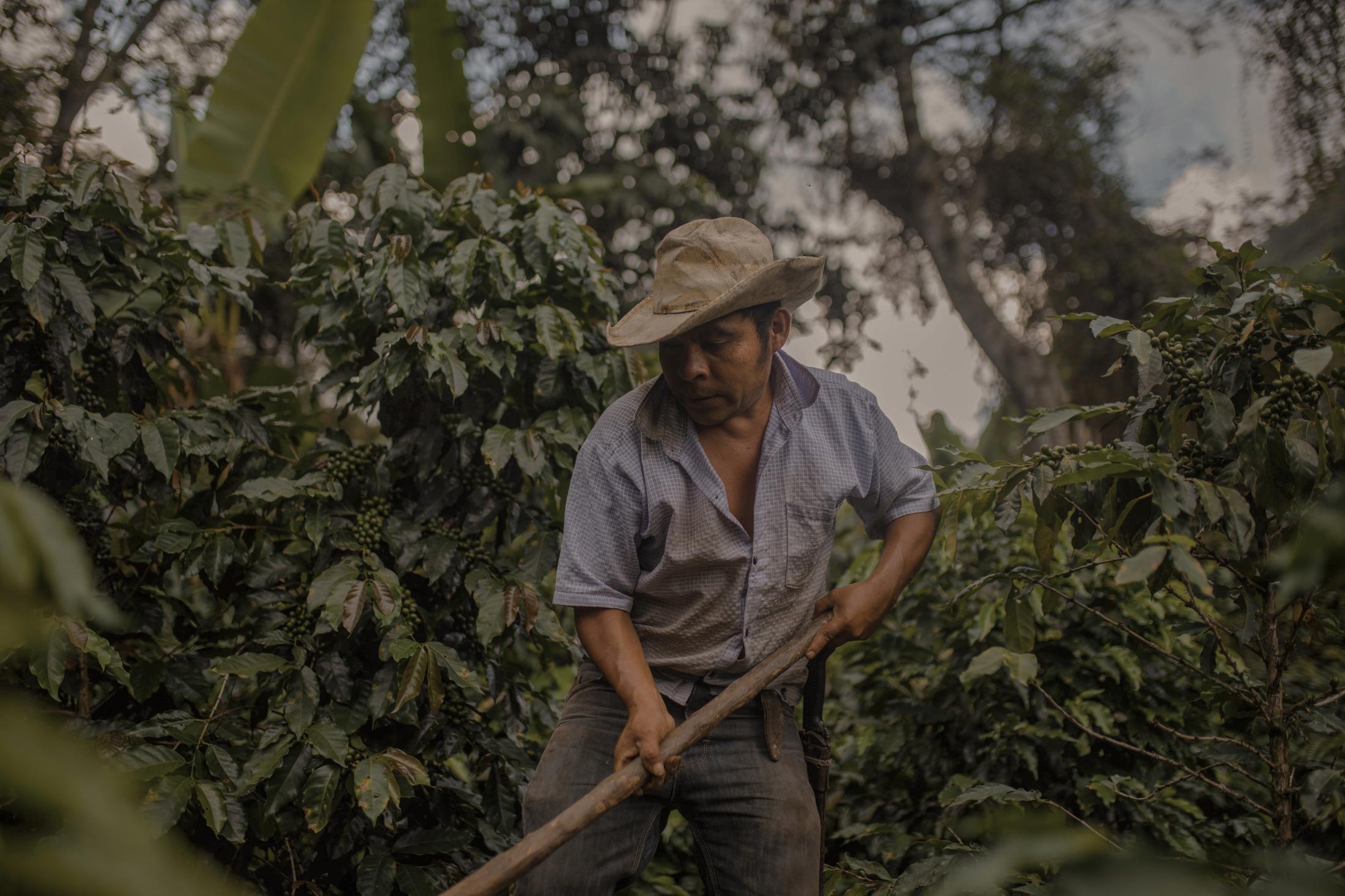 Andrés Frías Tablas, 44, trabaja en la finca familiar de café durante una jornada de descampe el 19 de Agosto de 2020, en el municipio de Ixhuatlán del Café, Veracruz.