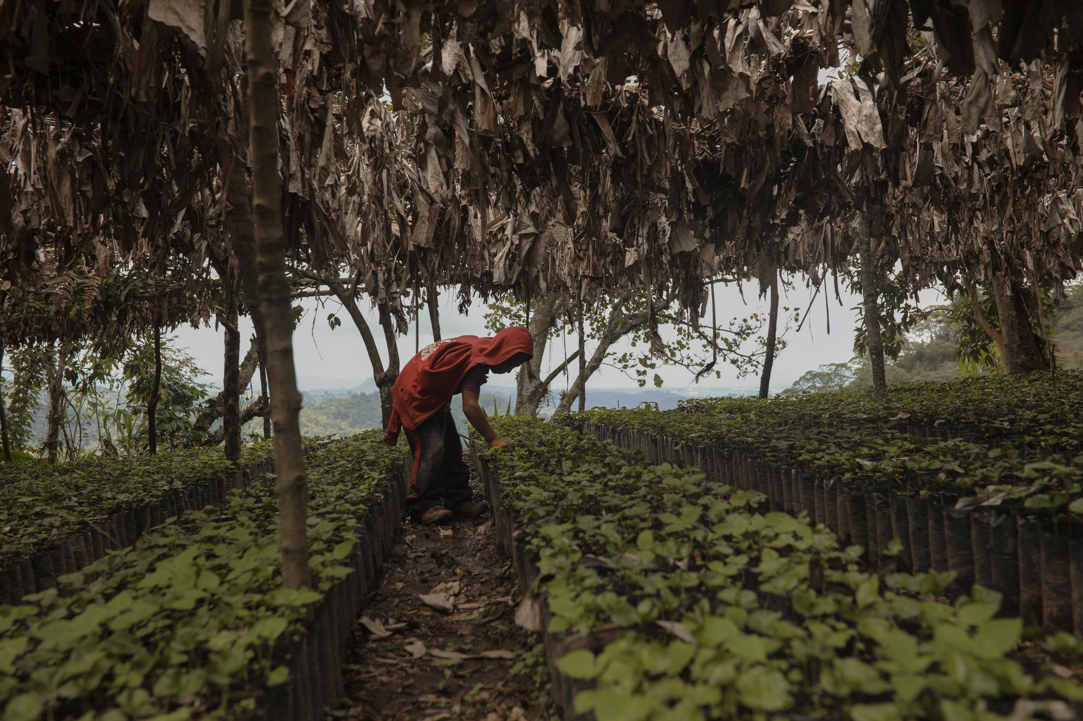 Un menor de edad trabaja ayudando a su abuelo y dando mantenimiento a las plantas en un vivero de cafetos el 17 de Agosto de 2020, en el municipio de Cosautlán, Veracruz.
