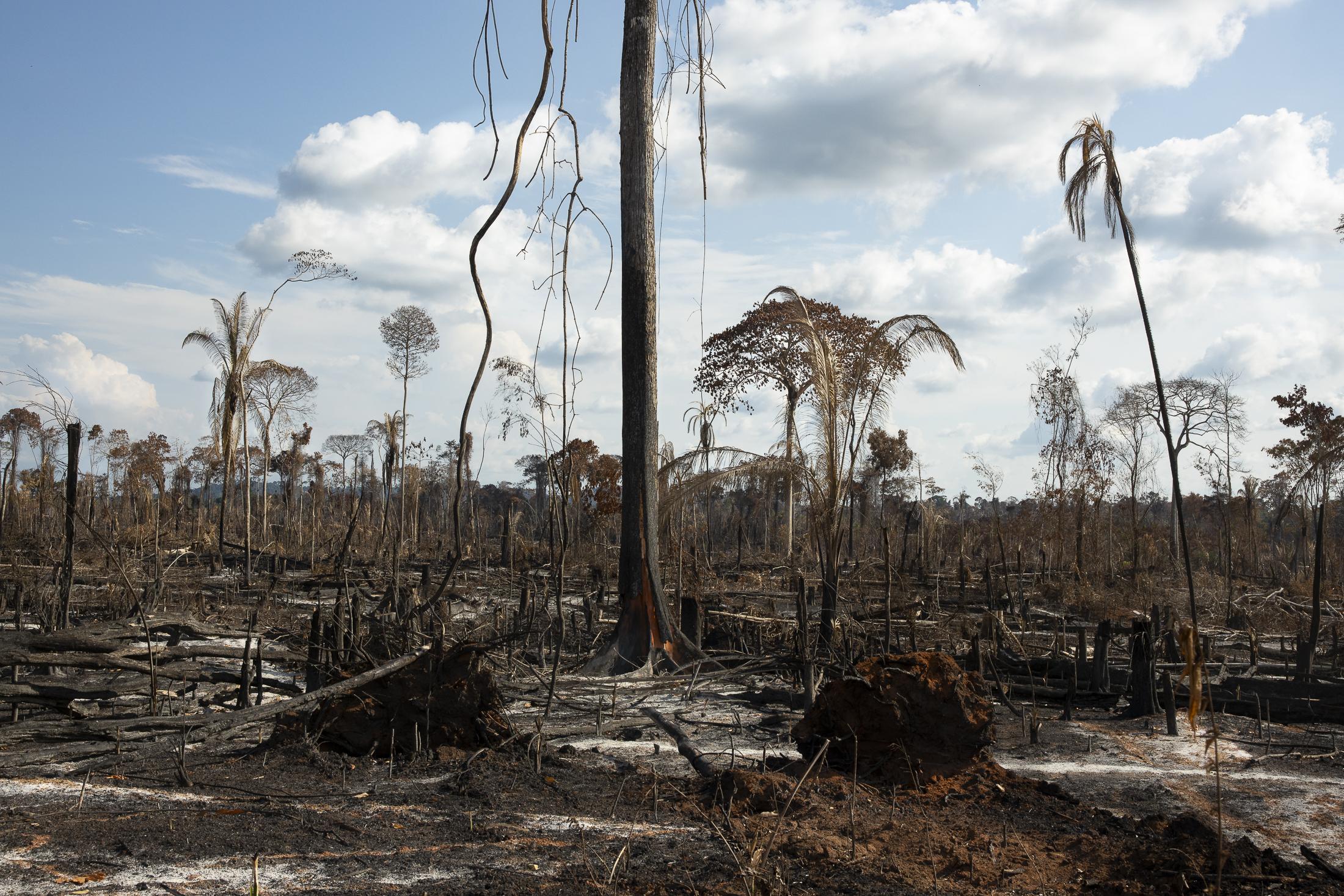 Vu sur un champs de 739 hectares de forêt Amazonienne illegalement brulée. Cette zone de la forêt fait partie de la resèrve protegée Indigènne TI Cachoeira Seca qu'appartient aux peuples Arara. Pour deforester une telle zone, 20 personnes et 6 tronsoneuses travaillent sur place à 1000 reais par boisseau pendant 2 mois. Le travail illegale à été commandé par Preto et Wagsmar Carneiro et deux autres amis fermiers qu'allaient partager le terre. Une piste d'avion est deja prete à venir semer les graines de paturage avant les que les temps des pluies arrivent. Une amande d'envieront un million deux cents mil reais est prévue pour ce type de crime, mais dans la region des cas comme celui la ont finit par payer la somme de 5000 reais en 5 parcelelles de 1000. Entre les fermiers qu'ont brule cette foret, un est fils d'un deputé locale. champs de 739 hectares de forêt Amazonienne illegalement brulée. Cette zone de la forêt fait partie de la resèrve protegée Indigènne TI Cachoeira Seca qu'appartient aux peuples Arara. Pour deforester une telle zone, 20 personnes et 6 tronsoneuses travaillent sur place à 1000 reais par boisseau pendant 2 mois. Le travail illegale à été commandé par Preto et Wagsmar Carneiro et deux autres amis fermiers qu'allaient partager le terre. Une piste d'avion est deja prete à venir semer les graines de paturage avant les que les temps des pluies arrivent. Une amande d'envieront un million deux cents mil reais est prévue pour ce type de crime, mais dans la region des cas comme celui la ont finit par payer la somme de 5000 reais en 5 parcelelles de 1000. Entre les fermiers qu'ont brule cette foret, un est fils d'un deputé locale.