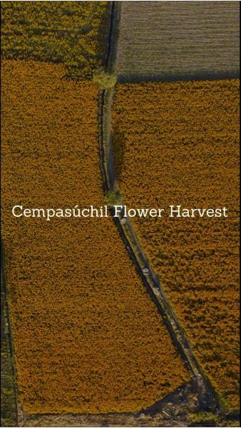 Cempasúchil Flower Harvest
